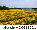 カリフォルニアポピー 花菱草 金英花の写真 26429321