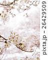 桜 26429509