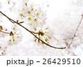 桜 26429510
