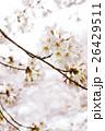 桜 26429511