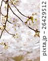 桜 26429512