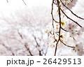 桜 26429513
