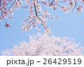 桜 26429519