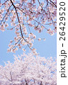 桜 26429520