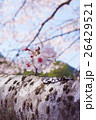 桜 26429521