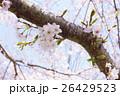 桜 26429523