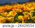 生駒高原のカリフォルニアポピー (宮崎県小林市) 26429554