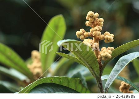 自然 植物 ビワ、蕾です。神楽を舞うときに巫女さんが持つ鈴のような姿です 26429888