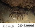 カノコイセエビ 26439996