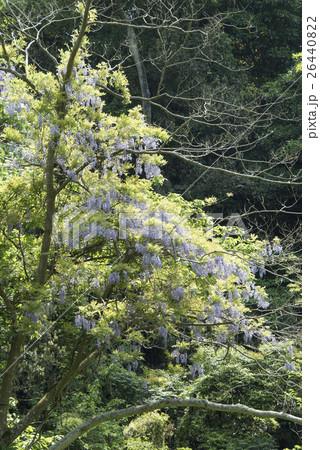 三浦半島/小網代の森の藤の花 26440822