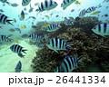熱帯魚 26441334