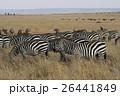 グラントシマウマ マサイマラ国立保護区 サバンナの写真 26441849