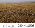 グラントシマウマ 野生動物 哺乳類の写真 26441856