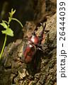 カブト虫 昆虫 兜虫の写真 26444039