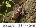 カブト虫 昆虫 兜虫の写真 26444040