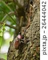 カブト虫 昆虫 兜虫の写真 26444042