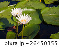white lotus flowers 26450355