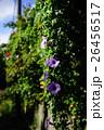 アサガオ緑のカーテン 26456517