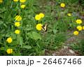 キアゲハ タンポポ 26467466