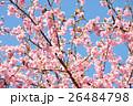 カワヅザクラ 桜 春の写真 26484798