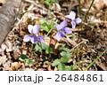 タチツボスミレ スミレ 淡紫の写真 26484861