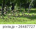 スズメ 雀 ワキアカツグミ 26487727