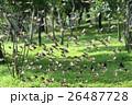 スズメ 雀 ワキアカツグミ 26487728