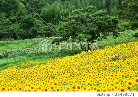 三ノ倉高原ひまわり畑(福島県) 26493671