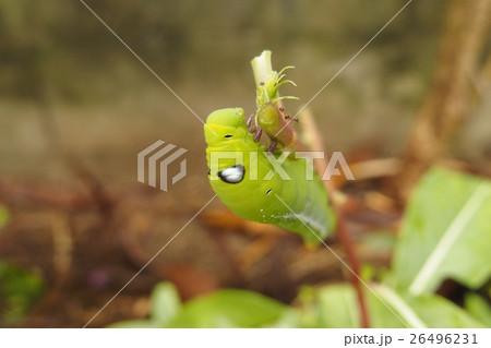 キョウチクトウスズメの幼虫 26496231