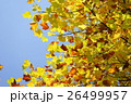 フウの黄葉最盛期 26499957
