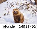 エゾタヌキ 冬 動物の写真 26513492