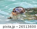 水から顔を出したゴマフアザラシ 26513600