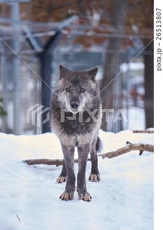 雪の上のシンリンオオカミ 26513807