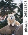 シンリンオオカミ 狼 イヌ科の写真 26513808