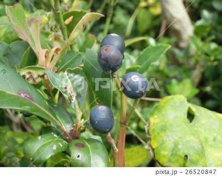 黒紫色に熟したシャリンバイの実 26520847