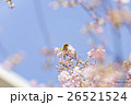 春のメジロ 26521524