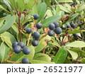 黒紫色に熟したシャリンバイの実 26521977