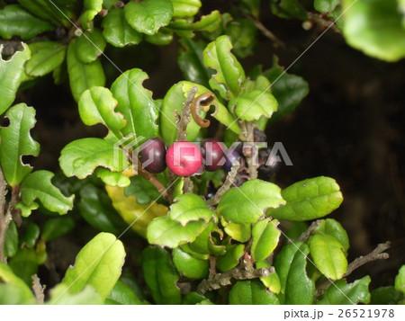 海岸植物ハマヒサガキの赤い実と黒い実 26521978