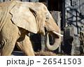ゾウの横顔 26541503