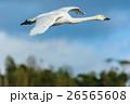 飛ぶ白鳥 26565608