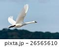 飛ぶ白鳥 26565610