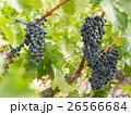 フルーツ 果物 果実の写真 26566684