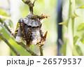 アシナガバチと巣 26579537