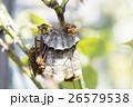 アシナガバチと巣 26579538