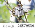 アシナガバチと巣 26579539