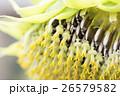 向日葵の種のアップ 26579582