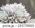 白い多肉植物ダドレア・ヌビゲナ 26579660