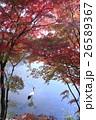 鶴 丹頂鶴 秋の写真 26589367