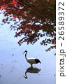 鶴 丹頂鶴 秋の写真 26589372