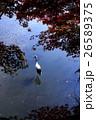 鶴 丹頂鶴 秋の写真 26589375